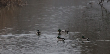 утки больше не улетают - река не замерзает